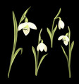 spring set of snowdrop flowers on a black vector image
