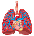 Close up human lung vector image vector image