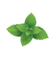 mint mint leaves green vector image vector image