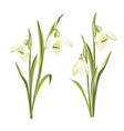 set of flowers of galanthus botanical vector image