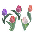 beautiful tulips - objects isolated vector image