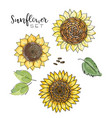 sunflower seed flower drawing set vector image