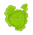 green cabbage vector image
