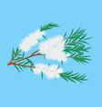 tea tree melaleuca branch vector image