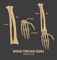 human forearm bones icons vector image