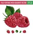 Raspberries on white background vector image