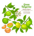 green tangerine vector image vector image