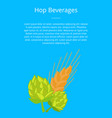 hop beverages poster hops and golden ears of wheat vector image