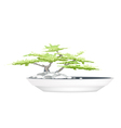 A Bonsai Tree in Flower Pot on White Background vector image vector image