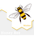 honey bee isolated on white vector image