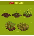 SET 1 Isometric Stage of growth Tomato vector image vector image