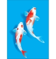 Koi couple on blue vector image vector image
