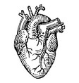 vintage engraving a human heart vector image