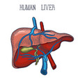 sketch ink human liver hand drawn doodle style vector image vector image
