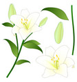 lilium candidum the madonna lily or white lily vector image vector image