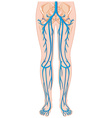Blood vessels in human body vector image vector image