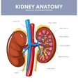 Kidney medical diagram poster vector image