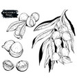 macadamia nut and branch black on white vector image vector image