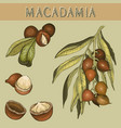 hand drawn macadamia nut and branch vector image vector image