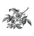 raspberry branch hand drawing black and white vector image vector image