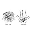 hand drawn of curly endive and belgian endive vector image