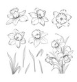 set line drawing narcissus daffodils blossom vector image