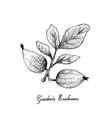 garcinia acuminata sour charichuelo azedo bac vector image vector image