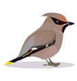 waxwing bird vector image vector image