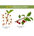 Medicinal or medical plant - branch of cherry vector image