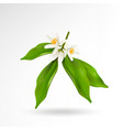 blossoming citrus plant branch with flowers buds vector image