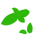 mint leaves on white background vector image