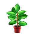 Ficus tree in pot isolated on white vector image vector image