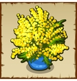 Bright yellow bouquet of Mimosa in blue pot vector image
