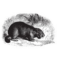 European marmot vintage vector image