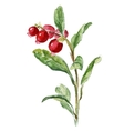 Cowberry isolated on white vector image