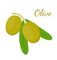 olive branch olives cosmetics medical plant vector image vector image