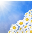 White daisy chamomile flowers vector image