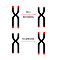 telomere end chromosome vector image vector image