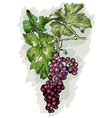 Grapes on a Vine vector image