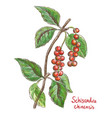 schisandra chinese or five flavor berry vector image vector image