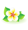 Frangipani tropical flower vector image