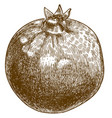 engraving pomegranate vector image vector image