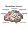 human brain anatomy diagram vector image vector image