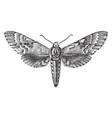sphinx moth vintage vector image vector image