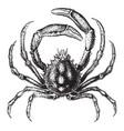 spider crab vintage vector image