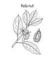 kola nut ola acuminata medicinal plant vector image vector image