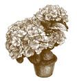 engraving hydrangea macrophylla vector image vector image