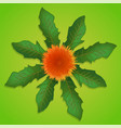 Dandelion with green leaves vector image