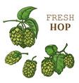 sketches of hop plant hop on a branch with leaves vector image vector image