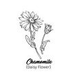 chamomile freehand black ink sketch vector image vector image